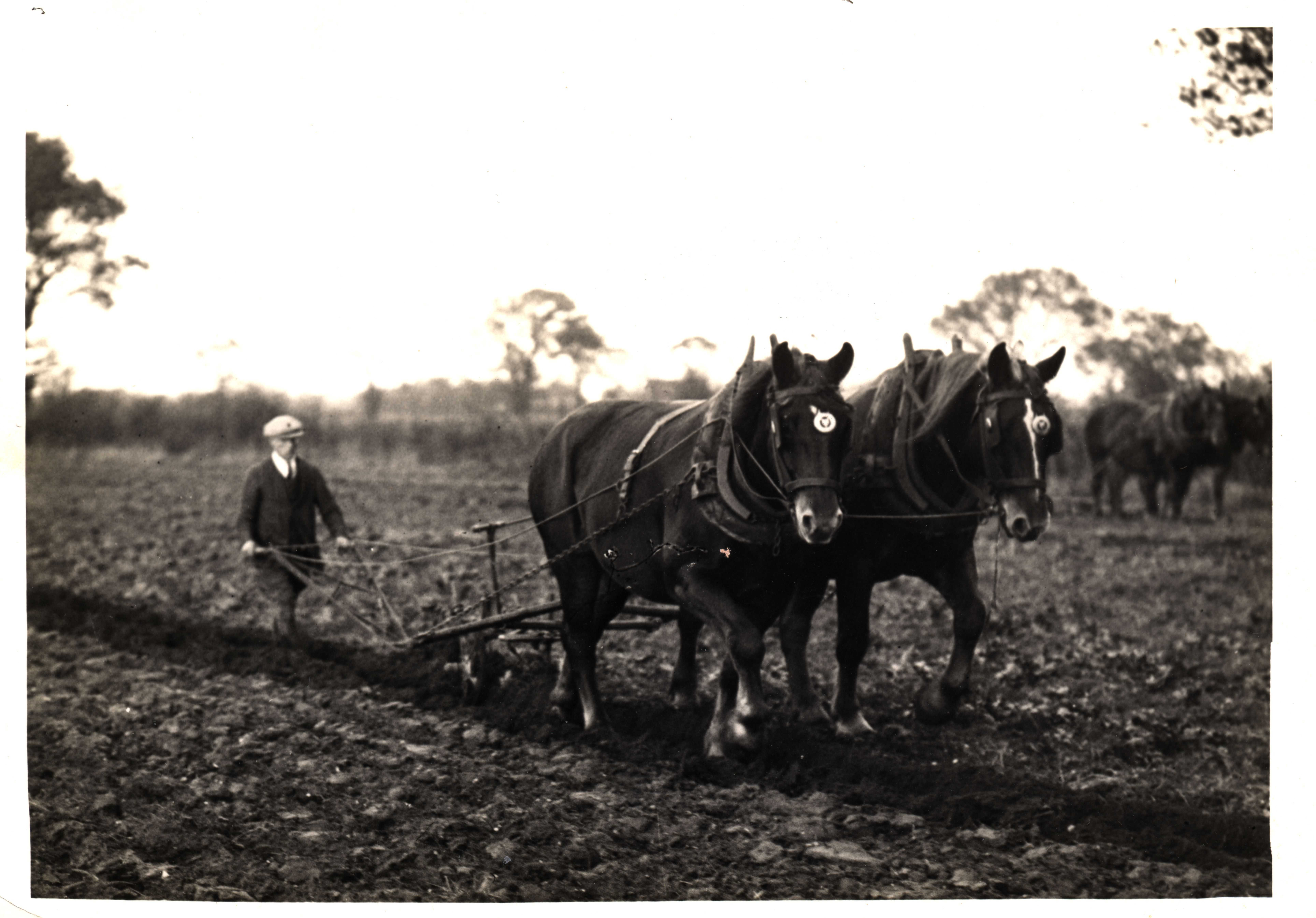 Ploughing Suffolks c. 1920s