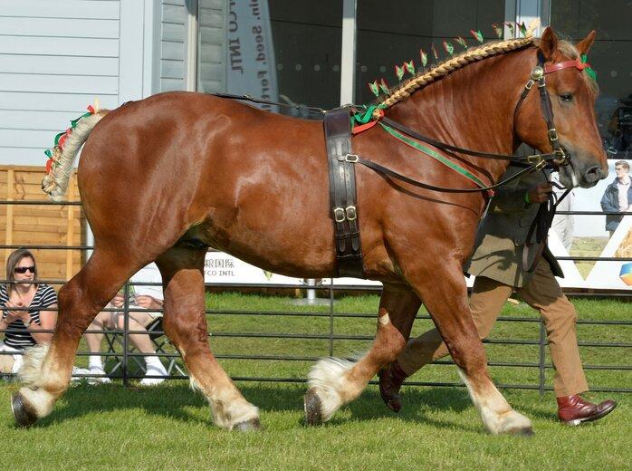 Shotleyfield Dazzling Duke