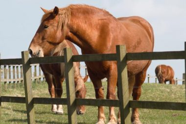 Buy and Sell Suffolk Horses
